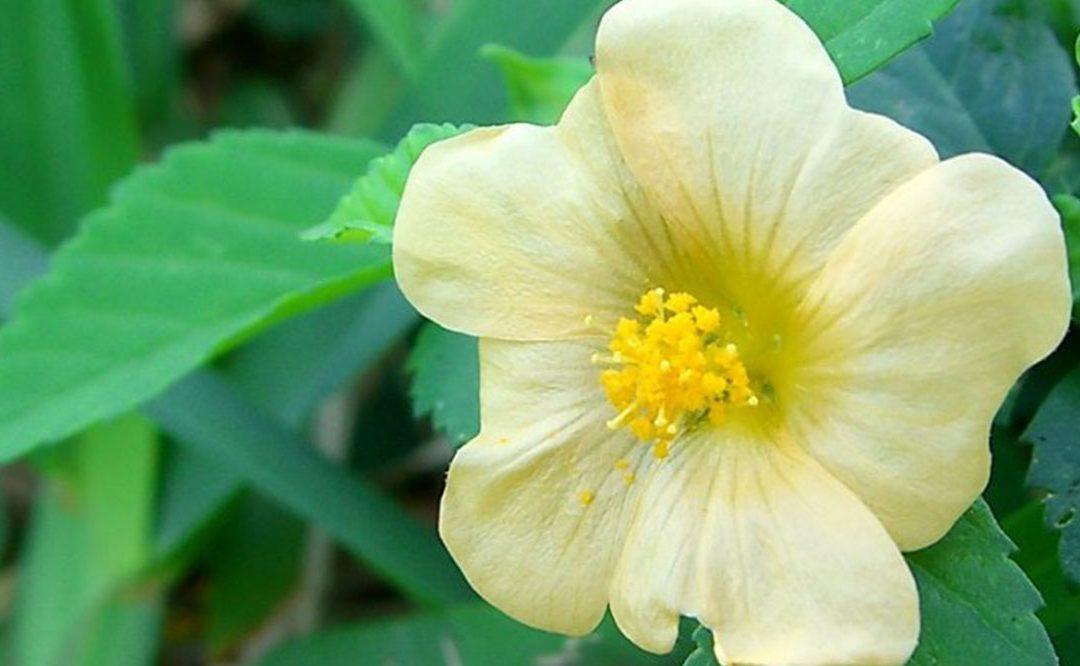 Sida acuta – wszechstronna a mało znana roślina na regenerację krwi, wzmocnienie odporności oraz lekooporne bakterie
